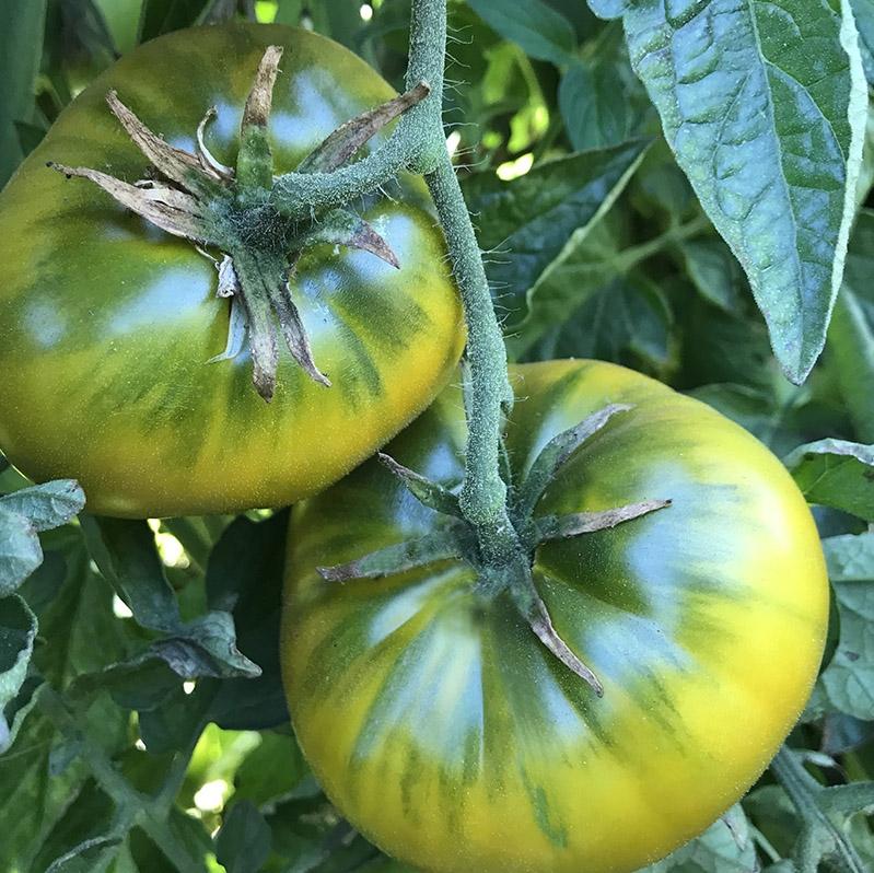 Cherokee Green - Organic Heirloom Tomato Seeds