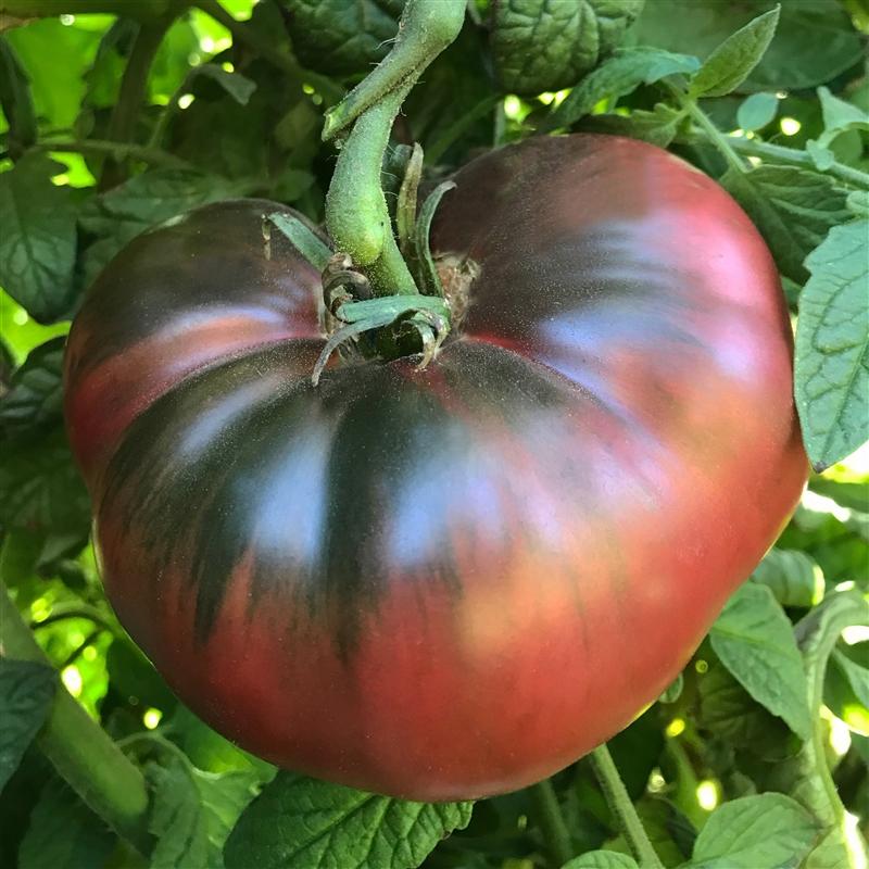 Cherokee Purple Organic Heirloom Tomato