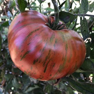 Chocolate Stripes Tomato