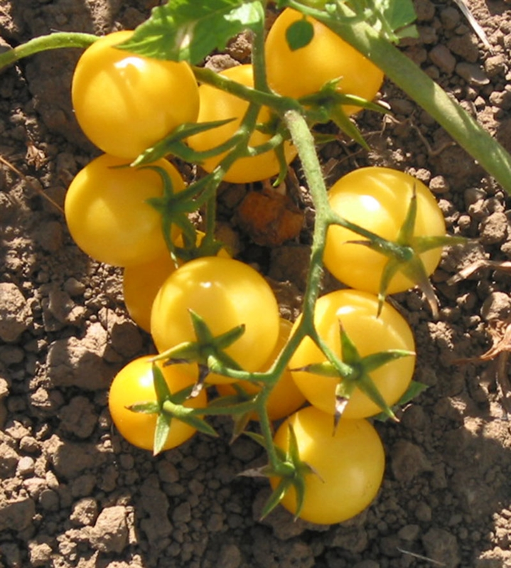 Cluj Yellow Cherry Heirloom Tomato Seeds