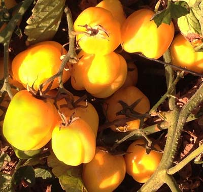 Doochova Yellow Pepper - Organic Heirloom Tomato Seeds