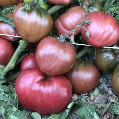 Dwarf Purple Heart - Tomato