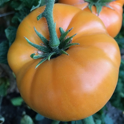 Dwarf Blazing Beauty - Organic Tomato Seeds
