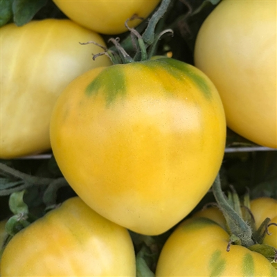 Dwarf Lemon Ice - Tomato