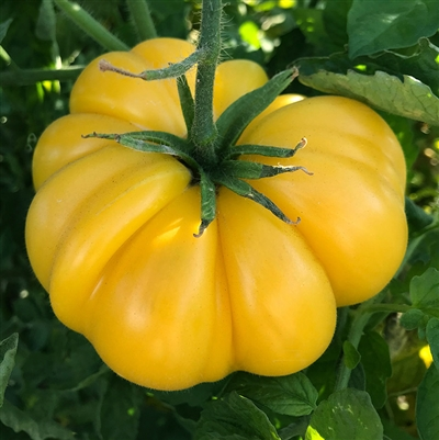 Gold Medal Yellow Tomato