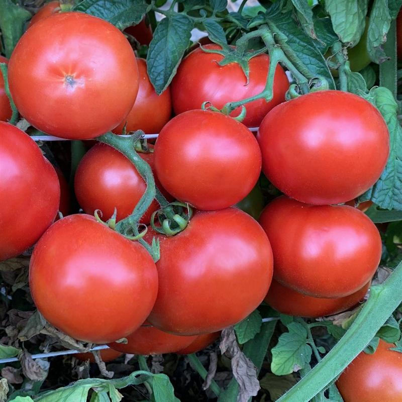 Heinz 9129 Organic Tomato Seeds