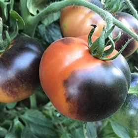 Indigo Apple - Organic Tomato Seeds