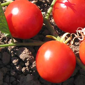 Kimberly-Tomato Seeds