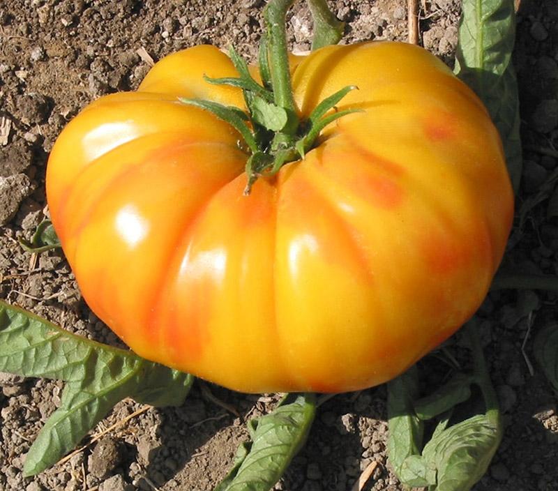 Old German - Organic Heirloom Tomato Seeds