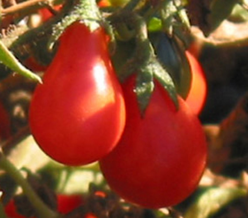 indeterminate heavy yields of 1.5 fruits 30 RED FIG Certified Organic Heirloom Tomato Seeds