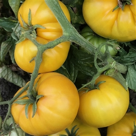 Sean's Yellow Dwarf - Tomato