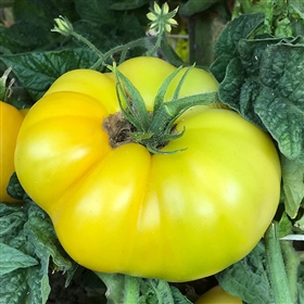 Summer Sweet Gold - Tomato