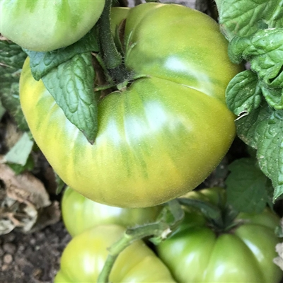 Summertime Green - Tomato