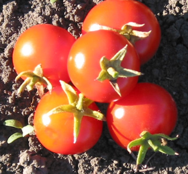 Surender's Indian Curry - Organic Heirloom Tomato Seeds