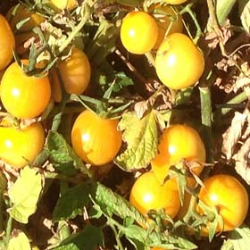 Vernissage Yellow - Organic Heirloom Tomato Seeds