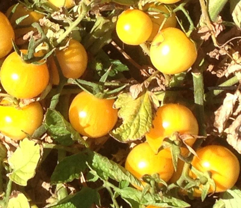 Vernissage Yellow Heirloom Tomato Seeds