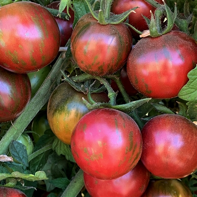 Violet Jasper - Heirloom Tomato