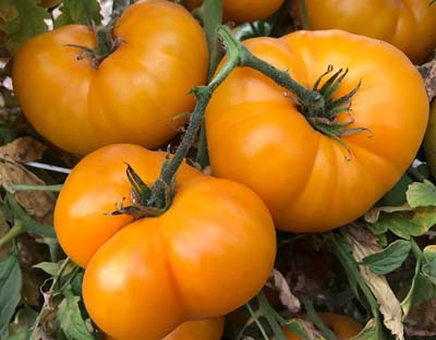 Yellow Bosnian - Heirloom Tomato Seeds