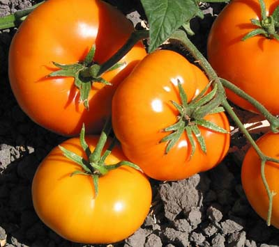 Gary Ibsen's Heirloom Tomato