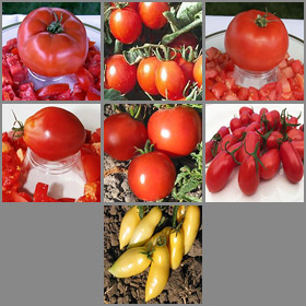 Indoor Container Tomato Collection #2
