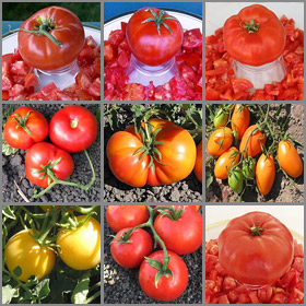 Short Season Tomato Seed Collection