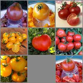 Cooler Coastal Tomato Seed Collection