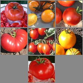 Tropical Container Garden Tomato Seed Collection