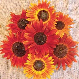 Autumn Beauty Blend Sunflower