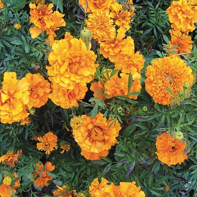 Dark Orange Marigold
