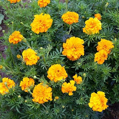 """Crackerjack Mix"" African Marigold - Organic Seeds"