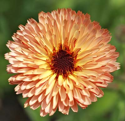Strawberry Blonde Calendula - Organic Seeds