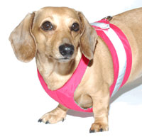 Watermelon Pink Easy-Go Never-Choke Dachshund Harness