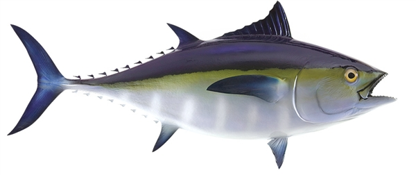 black fin tuna fishmount