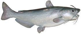 blue catfish fishmount