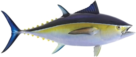 blue fin tuna fishmount