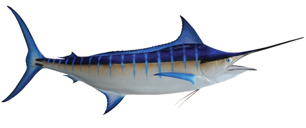 blue marlin fishmount