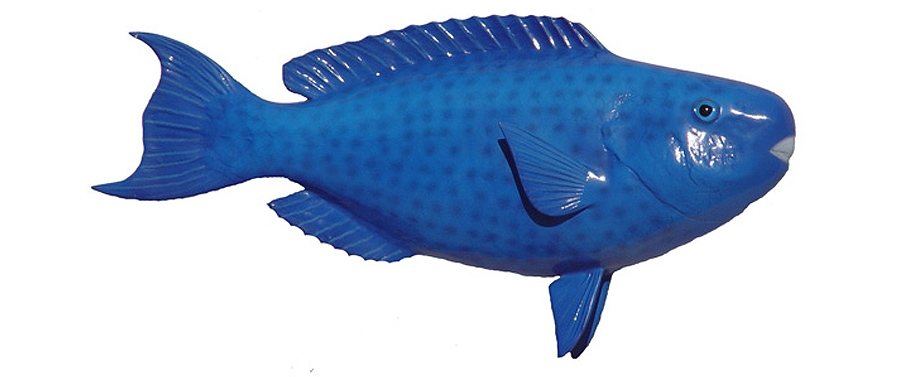 Blue parrot fish fishmount for Parrot fish facts