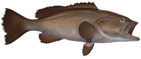 broomtail grouper fishmount