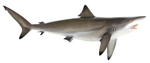 black tip shark fishmount