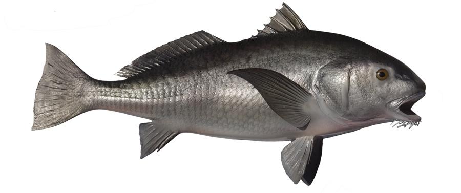 Black drum fishmount for Black drum fishing