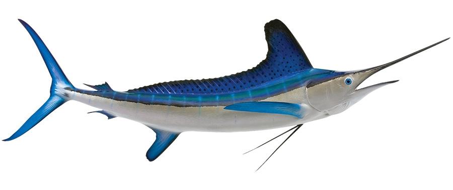white marlin fishmount