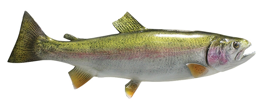 rainbow trout fishmount
