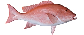 red snapper fishmount