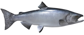 king / chinook salmon fishmount