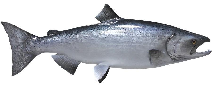 king / chinook salmon fishmount