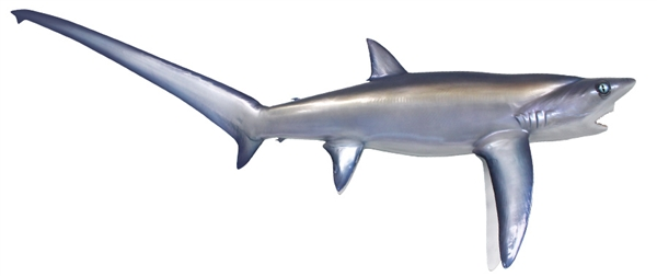 thresher shark fishmount