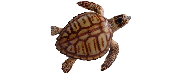 turtle fishmount
