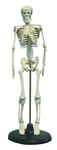 Desktop Skeleton Model 17""