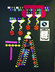 Protein Synthethis Manipulatives Kit