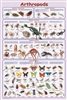 Arthropods - Laminated